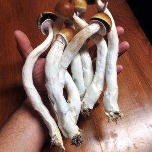 Buy B+ Magic Mushrooms