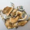 Golden Teacher Magic Mushroom