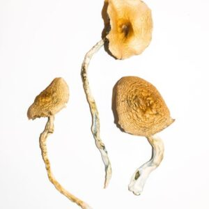 Golden Teacher Magic Mushroom