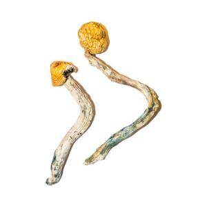 Ecuadorian Magic Mushrooms