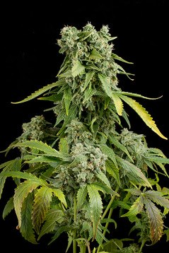 Buy Blue-Cheese Auto Seeds